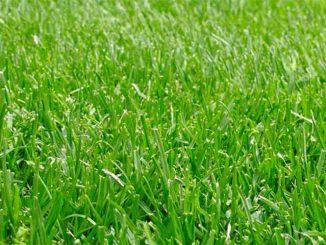 Can You Fertilize Wet Grass?