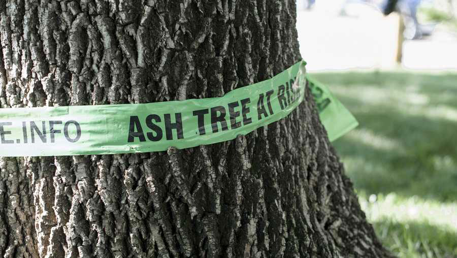 Ash tree diseases and pests