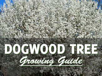 Dogwood Tree Growing Guide