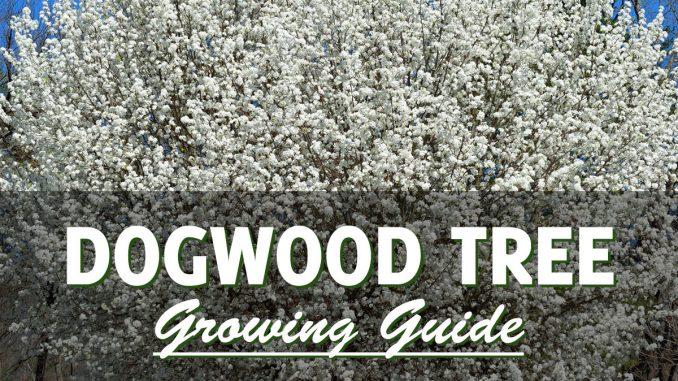 Dogwood Tree Growing Guide