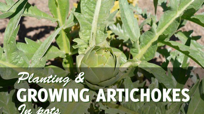 Growing Artichokes in Pots