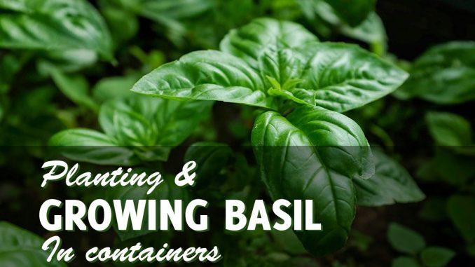 Growing Basil In Pots