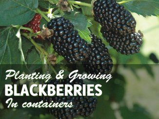 Growing Blackberries In Containers