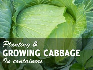 Growing Cabbage in Containers