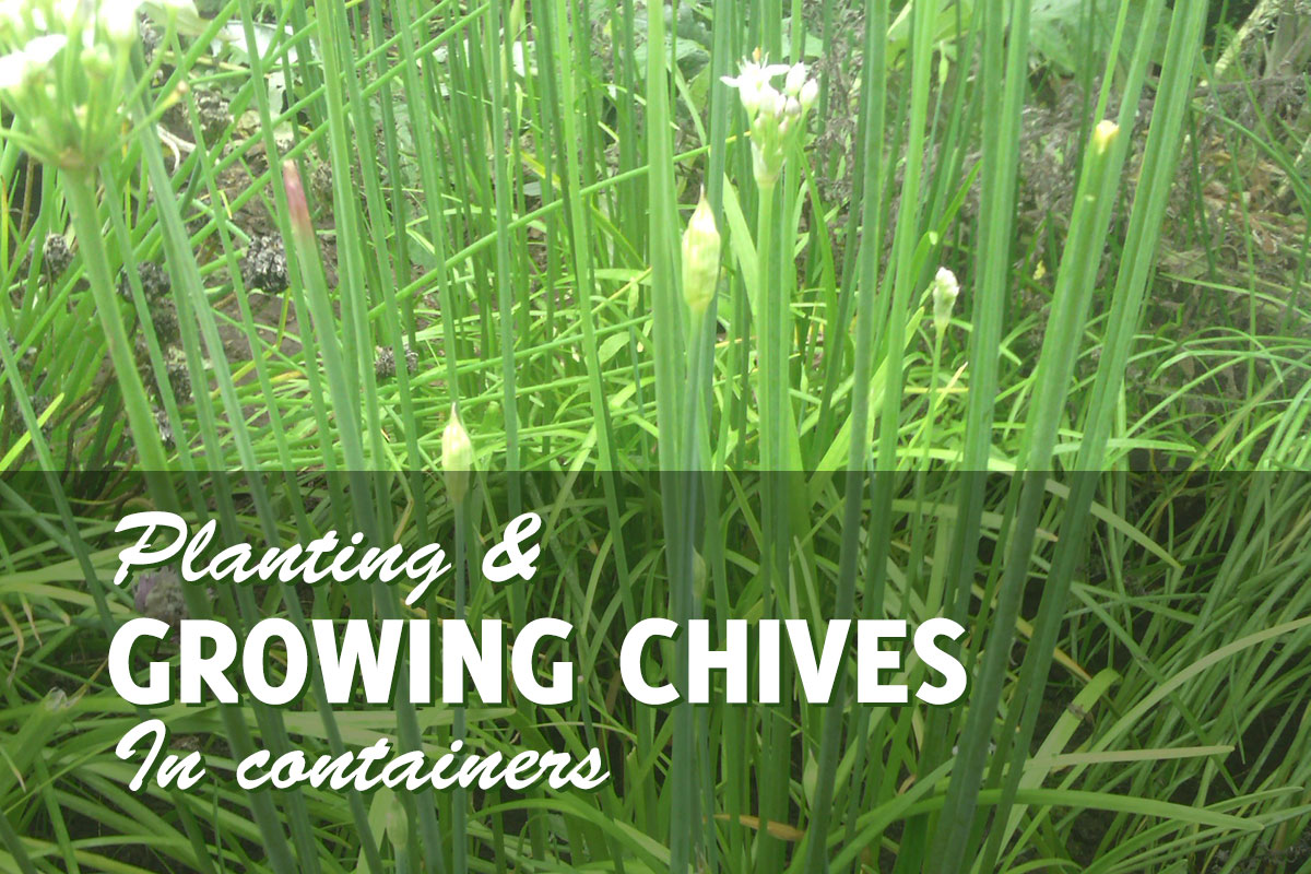 Image of: Growing Chives In Pots Everyone Should Be Doing It Gardenhugs Com