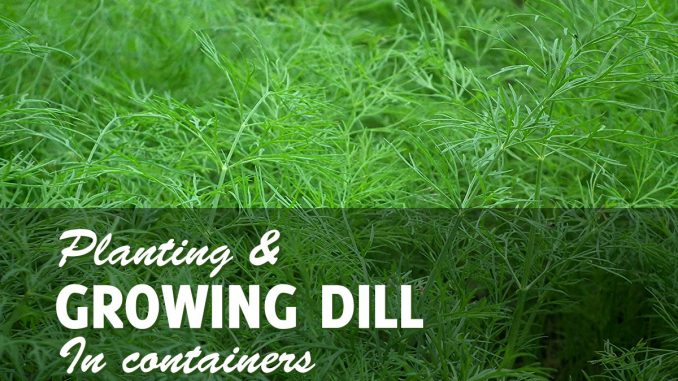 Growing Dill In Pots