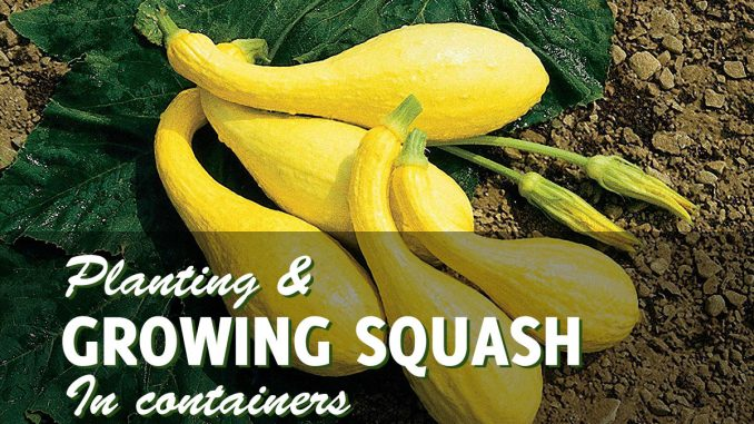 Growing Squash In Containers
