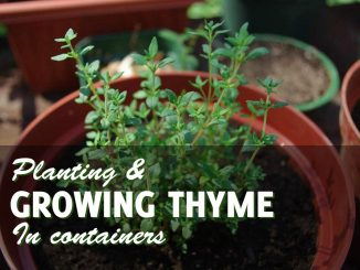 Growing Thyme In Pots