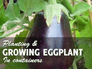 Growing eggplant in conainters