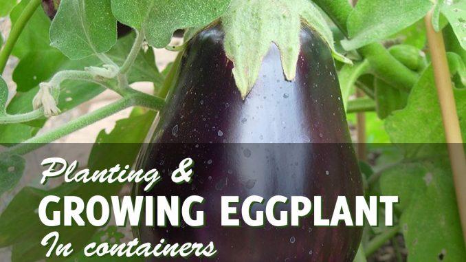 Growing eggplant in conainters