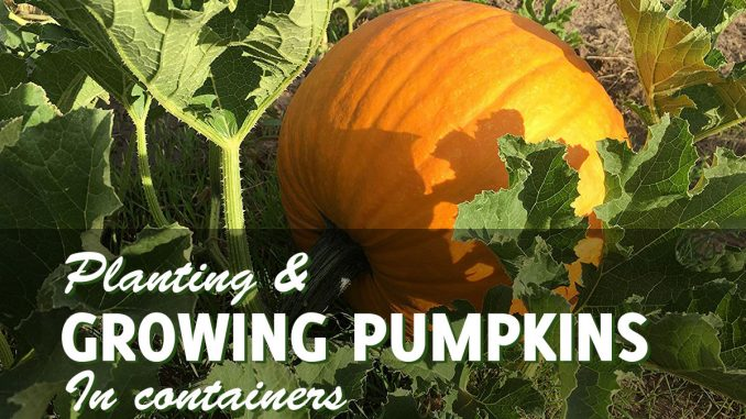 Growing pumpkins in containers