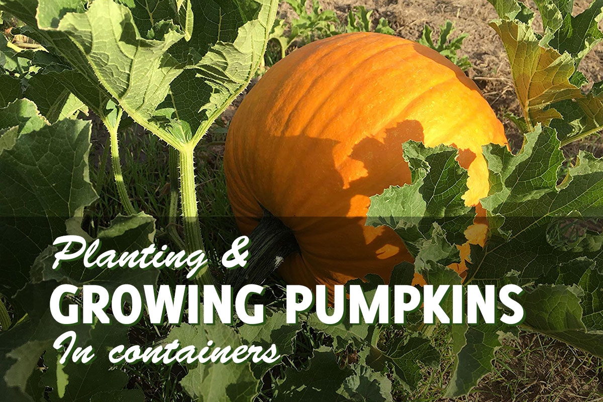 Growing Pumpkins In Containers It Can Be Done Gardenhugs Com