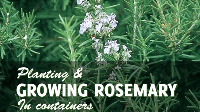 Growing rosemary in pots