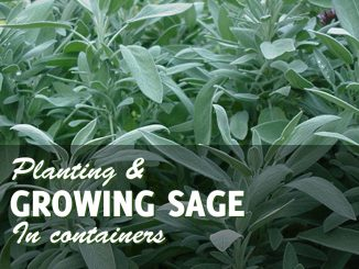 Growing sage in pots