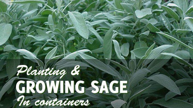 Growing sage in pots