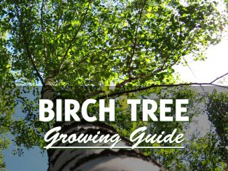 How to grow a birch tree