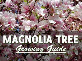 How to grow a magnolia tree