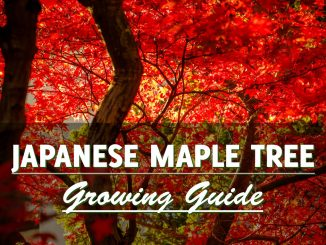 Japanese Red Maple Tree Growing Guide