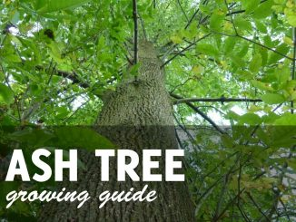 Ash Tree Growing GUide