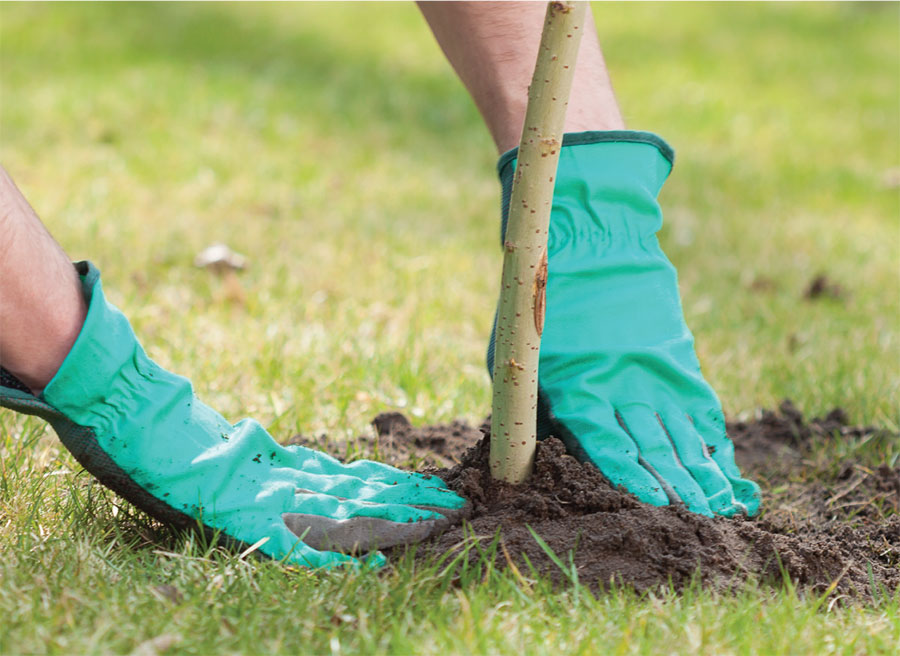 Ash tree planting guide