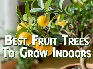 Best fruit tree to grow indoors