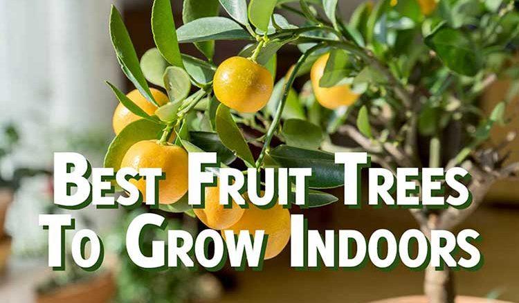 Best fruit tree to grow indoors