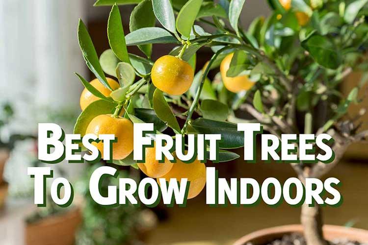 The 7 Best Fruit Trees To Grow Indoors Gardenhugs Com