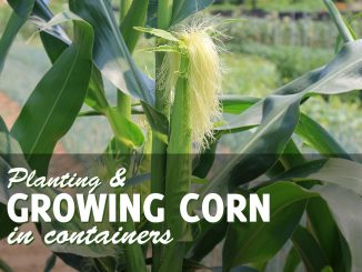 Growing Corn in a Pot or Container