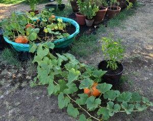 growing pumpkins in kiddie pool