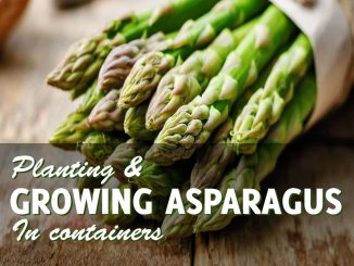 how to grow asparagus in containers