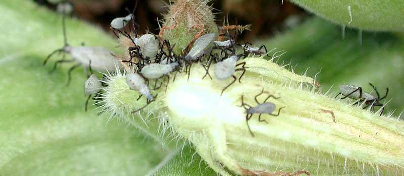 adolescent bugs