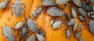 Neem oil for adult squash bugs