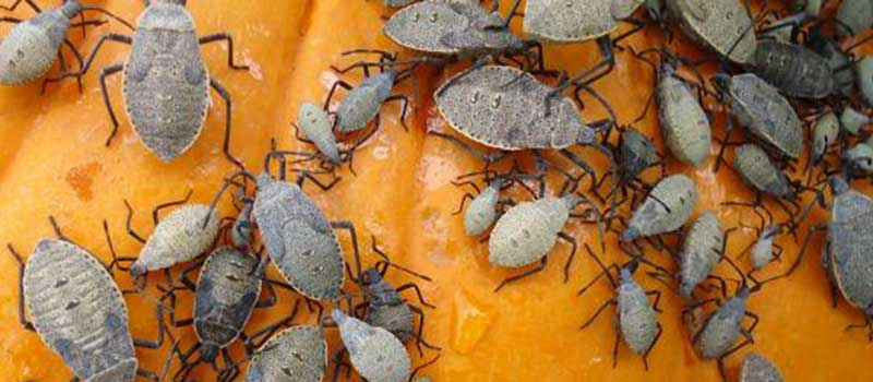 Neem for adult squash bugs