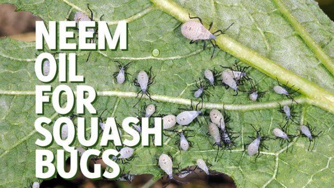 neem oil for squash bugs
