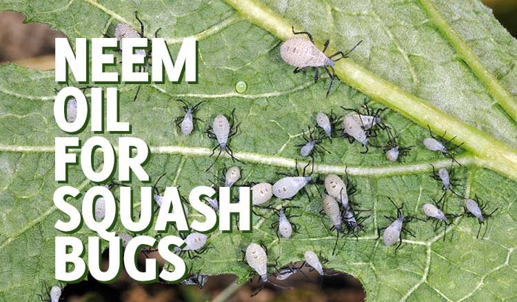 neem oil for squash bugs