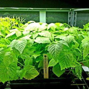 raspberry starter plants
