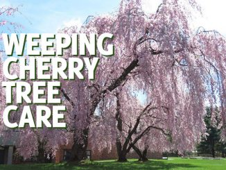 Weeping Cherry Tree Care