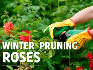 Winter Pruning Roses